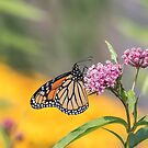 Monarch 2017-12 by Thomas Young