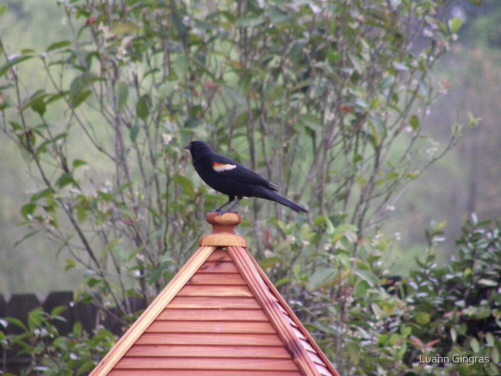 Red Winged Blackbird by Luann Gingras