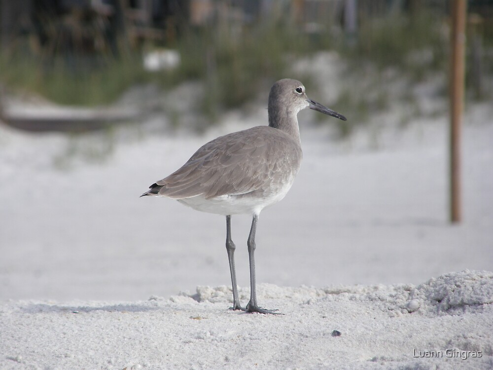 Willet Beach by Luann Gingras