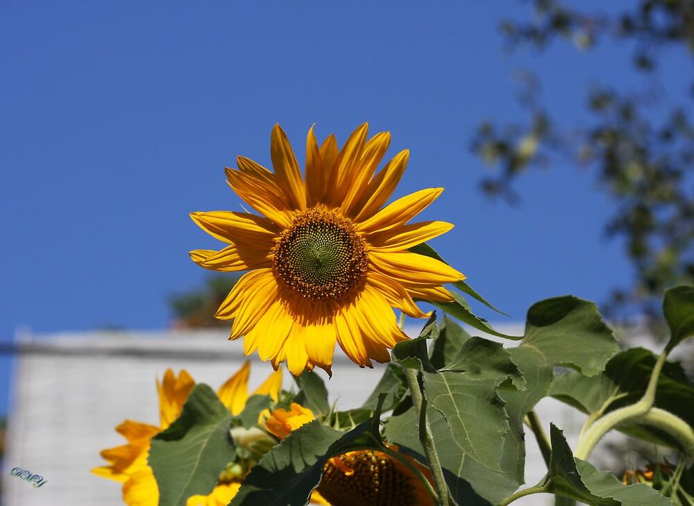 September Sunflower by shadyuk