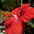 Red Hibiscus Bloom by James Brotherton
