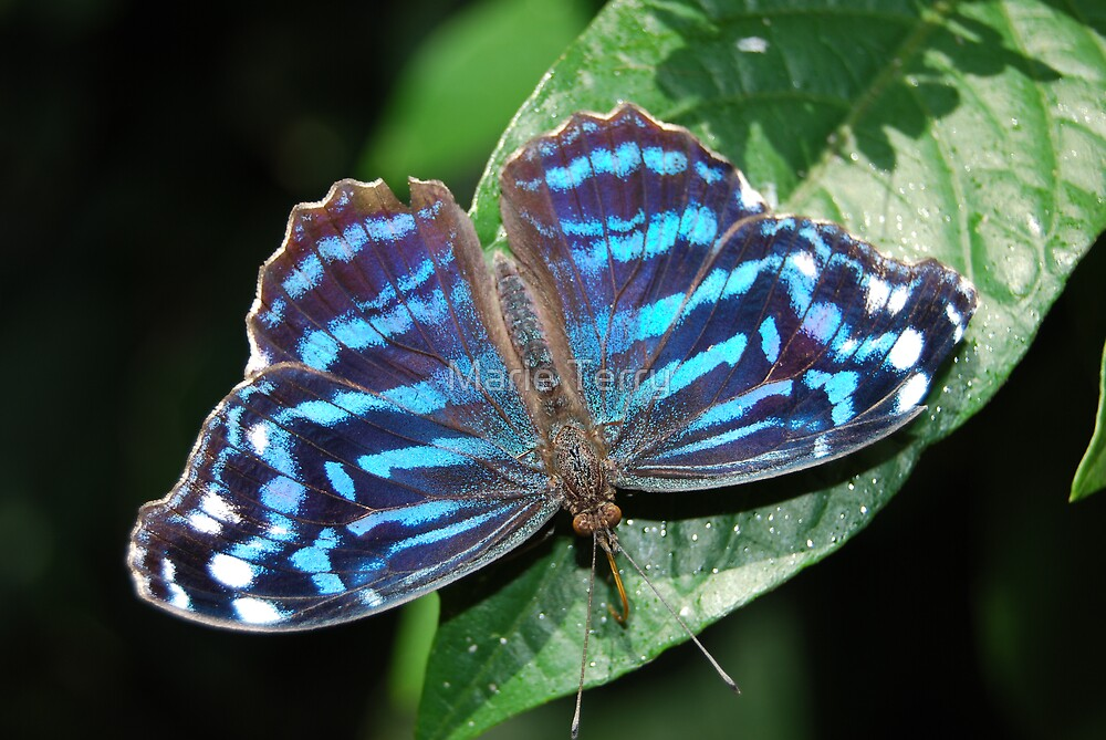 Mexican Bluewing Butterfly by Marie Terry