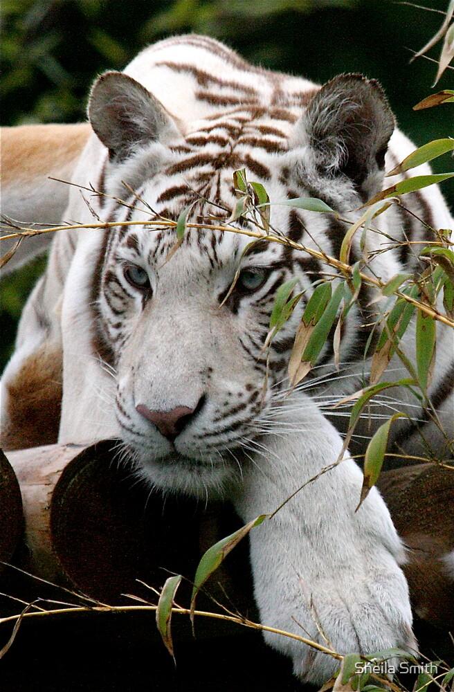 White Tiger by Sheila Smith