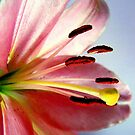 Sunlit Lily by sknelson