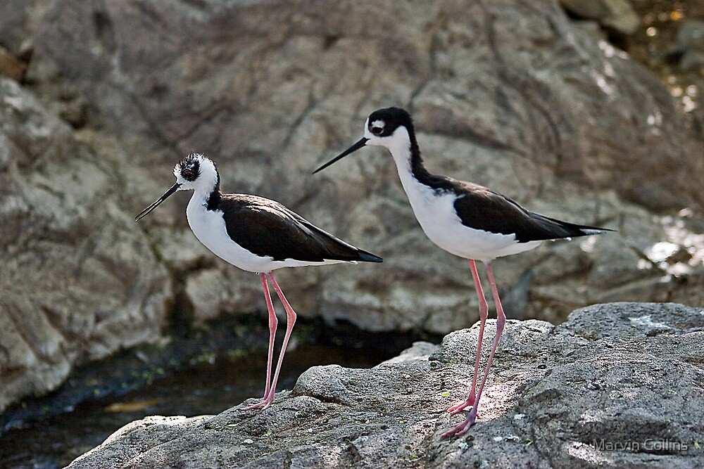 Black-Necked Stilts by Marvin Collins
