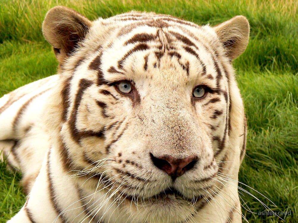 white tiger by ashley reed