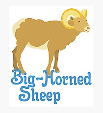 Big Horned Sheep Photographic Print