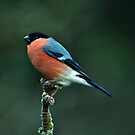 Male Bullfinch by Russell Couch