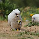 Corellas at the Beach by Doug Cliff