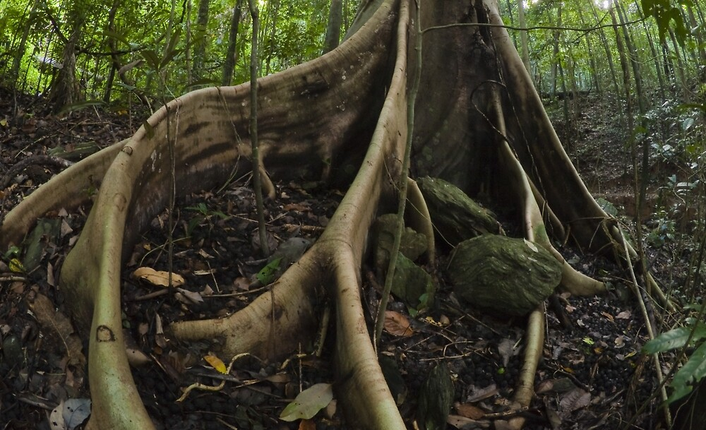 buttress roots - far north queensland by col hellmuth