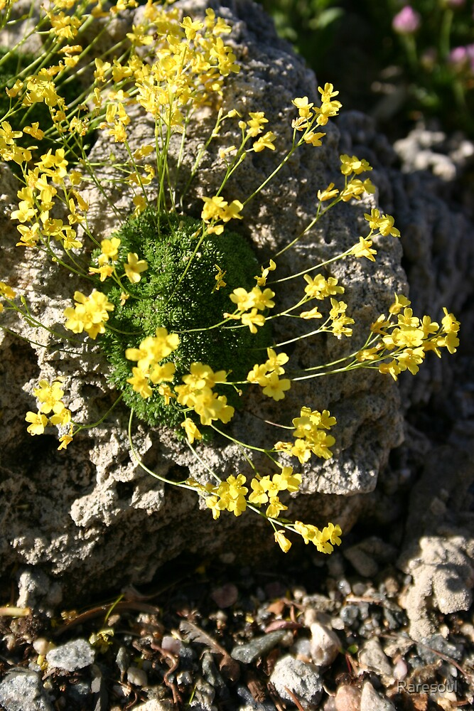 Yellow Flowers on Rock by Raresoul