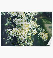 HD Nature Photograph White Flowers Poster