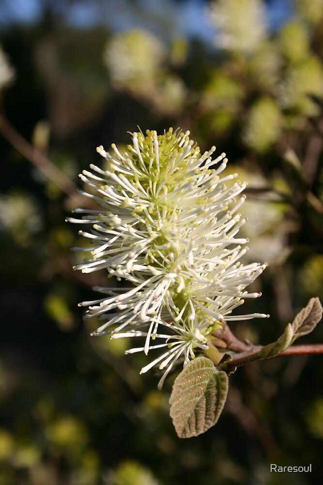 White Flower by Raresoul