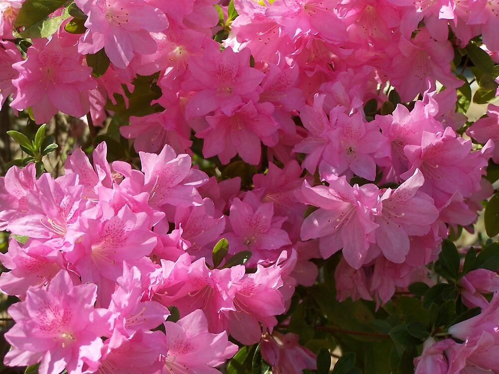 Pink Azaleas by MeMeBev