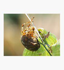 Plump Spider Photographic Print