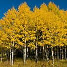 Autumn Aspens by Gary Lengyel