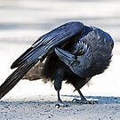 Common raven preening in Algonquin park by Jim Cumming