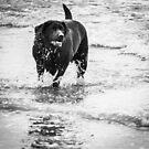 Black Labrador by Jordan Williams