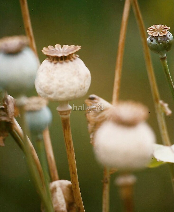 poppy seed heads by bally58