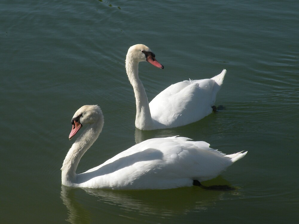 Swan duo by Bonnie Pelton