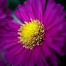 Aster Light by jenndes