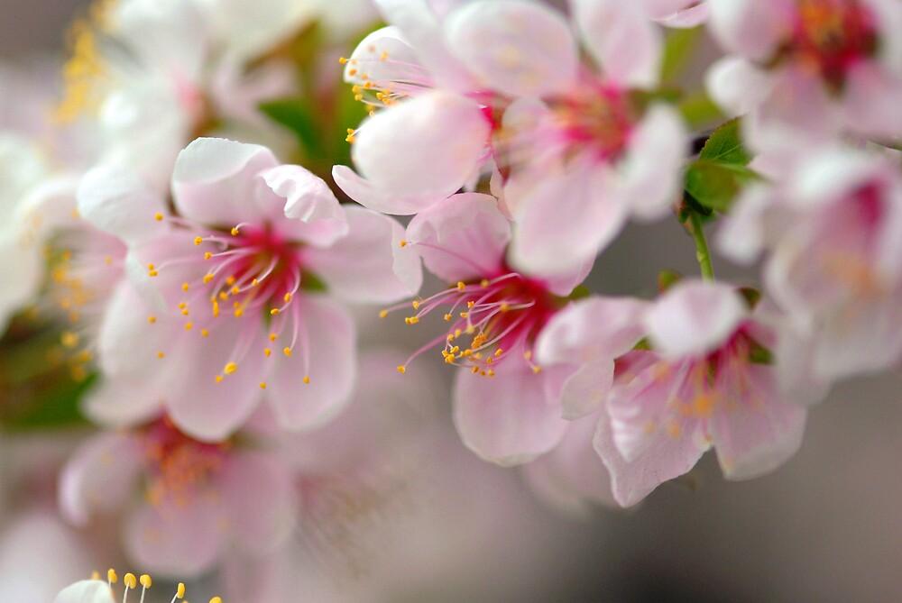 spring fever by sapaho