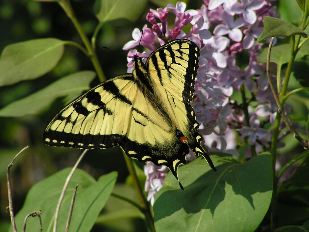 Yellow Butterfly by melissar814