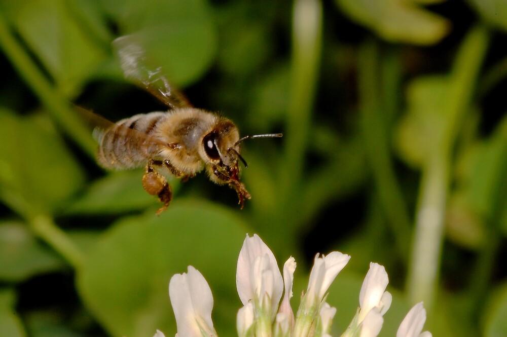 Bee in flight by David  Hall