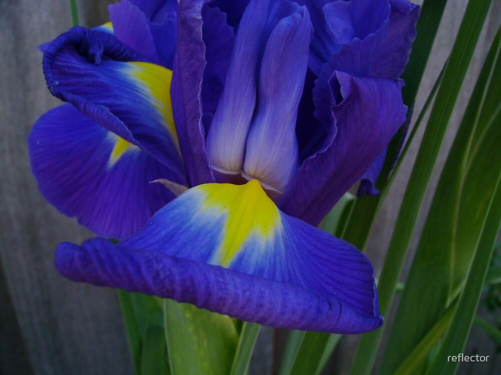Dutch Blue by reflector