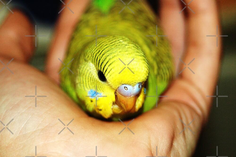Hello little Parakeet by Angie Seiffert