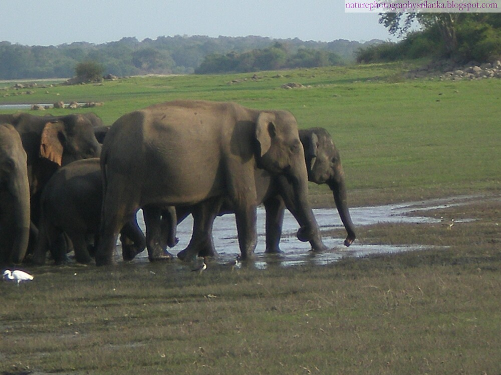Herd of wild elephants in sri lanka, dry zone jungle by alaya