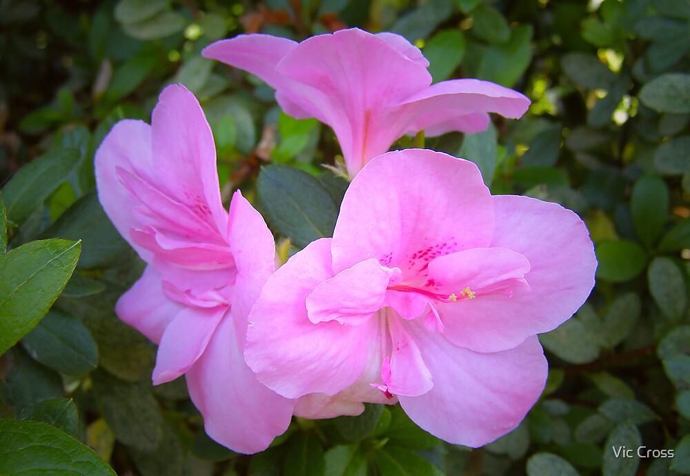 Pink Azaleas by Vic Cross