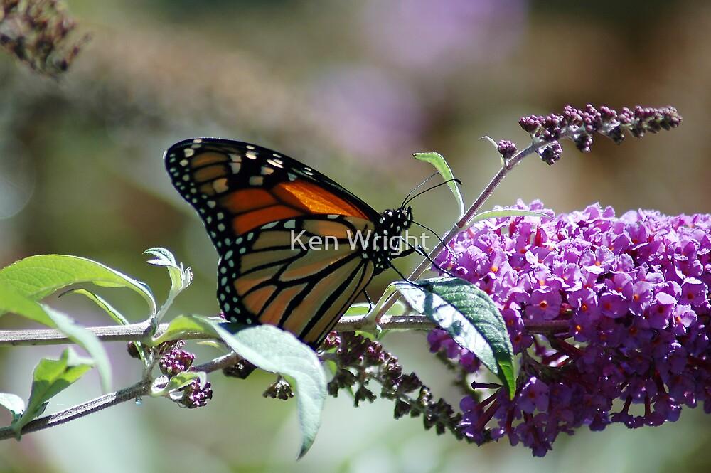 Monarch by Ken Wright
