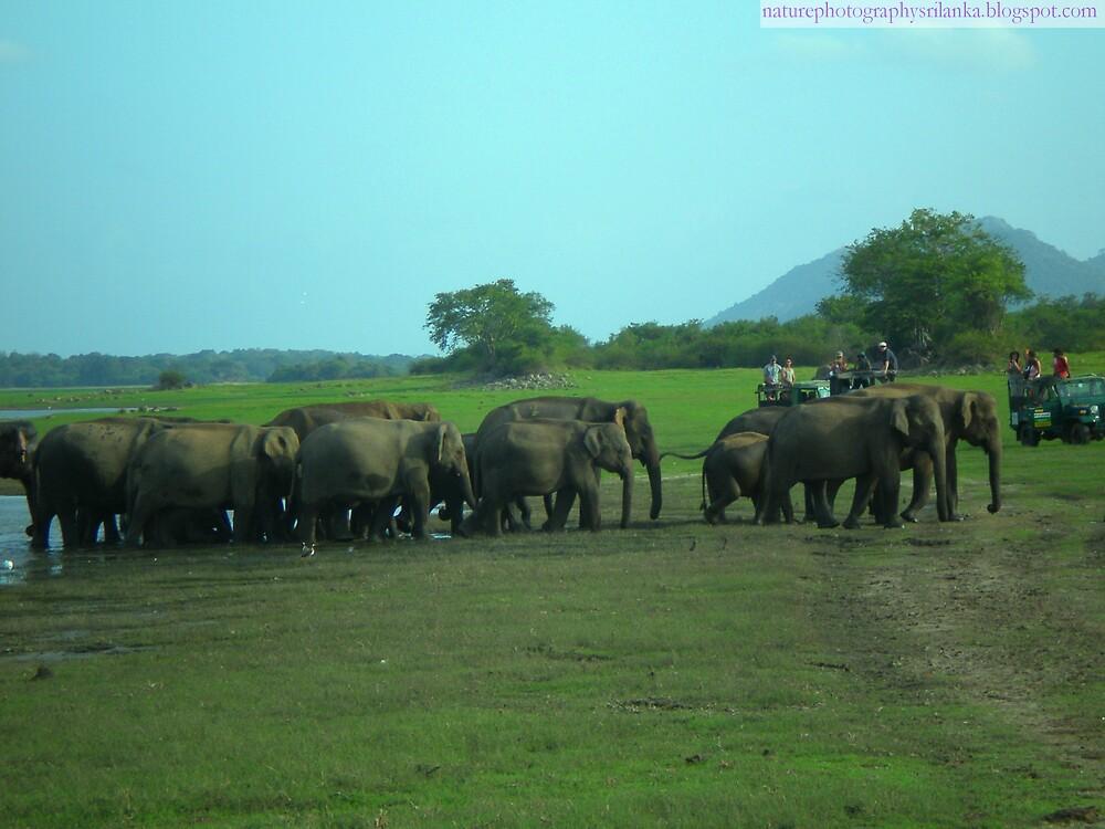 large herd of wild elephants by alaya