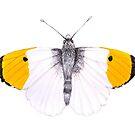 Orange Tipped Butterfly by amydaggett