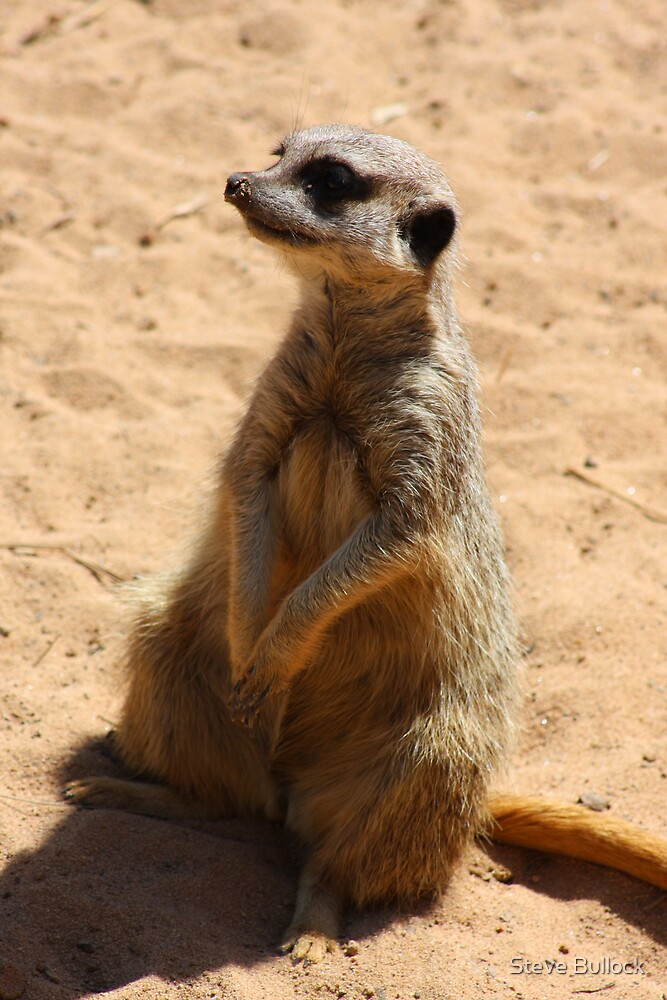 Meerkat by Steve Bullock