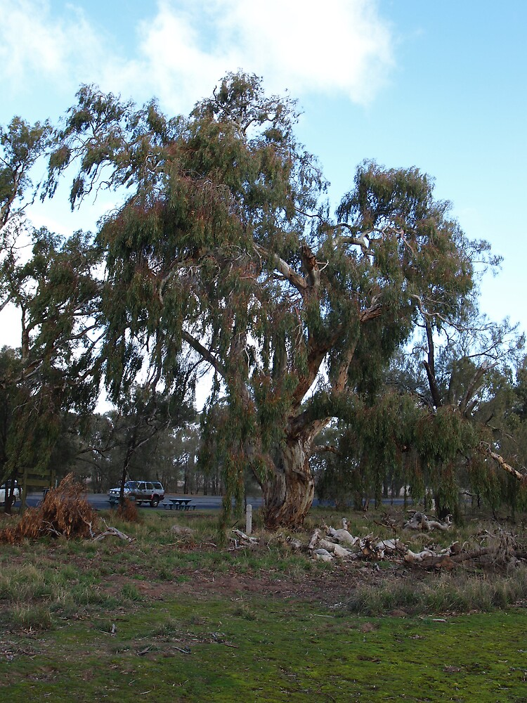 Weeping gum by skik