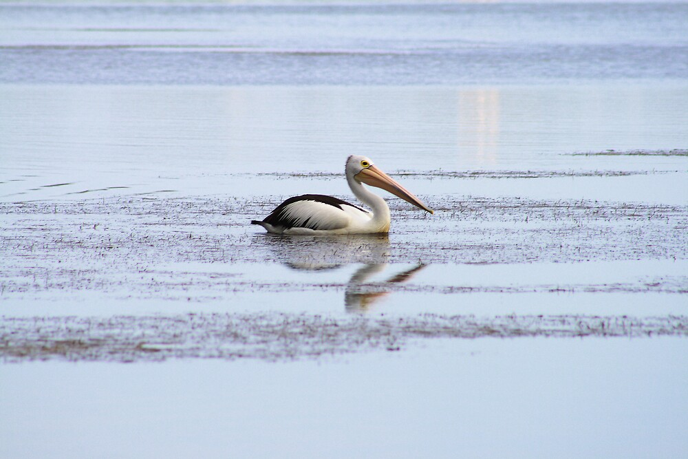 Pelican on Narrabeen Lakes, Northern Beaches by Spirit Level Creations