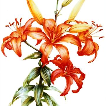 Orange Asiatic Lily botanical art by sarahtrett