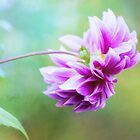 Glorious Autumn Dahlia by Anita Pollak