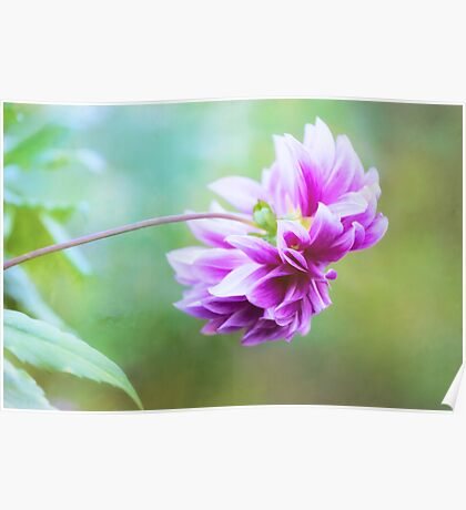 Glorious Autumn Dahlia Poster
