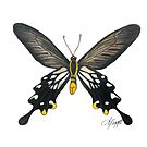 Losaria coon Butterfly Drawing by amydaggett