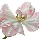 Tulip Ballet by Ann Garrett