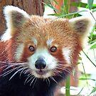 Red Panda Portrait by Graeme  Hyde