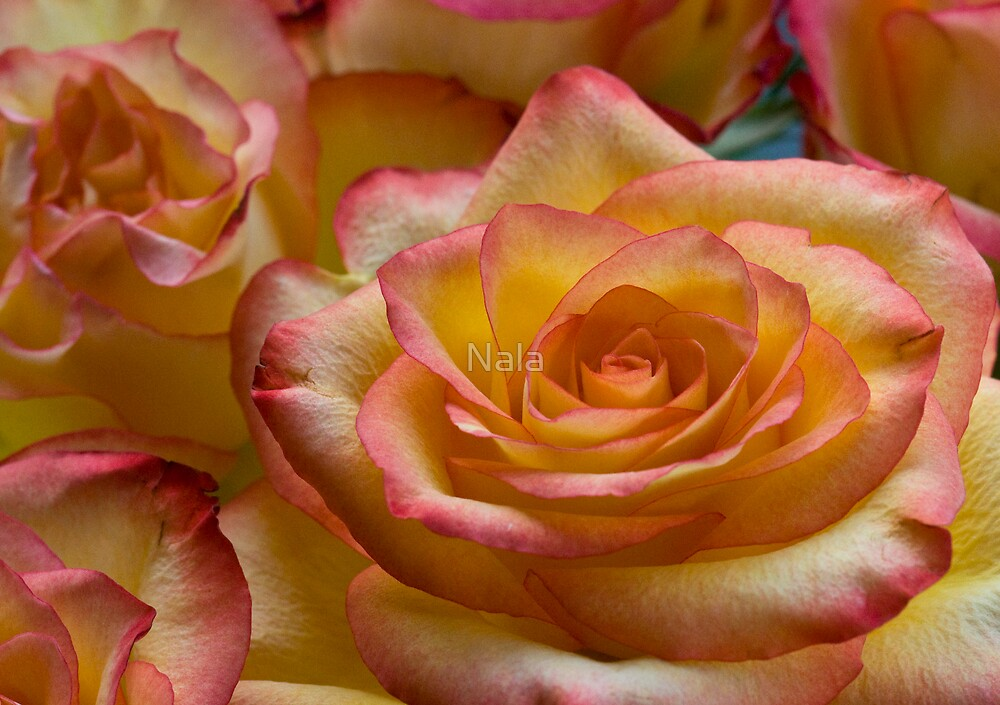 Just a sweet Rose . . . .   for you  by Nala