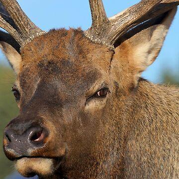 Bull Elk by livehonestly