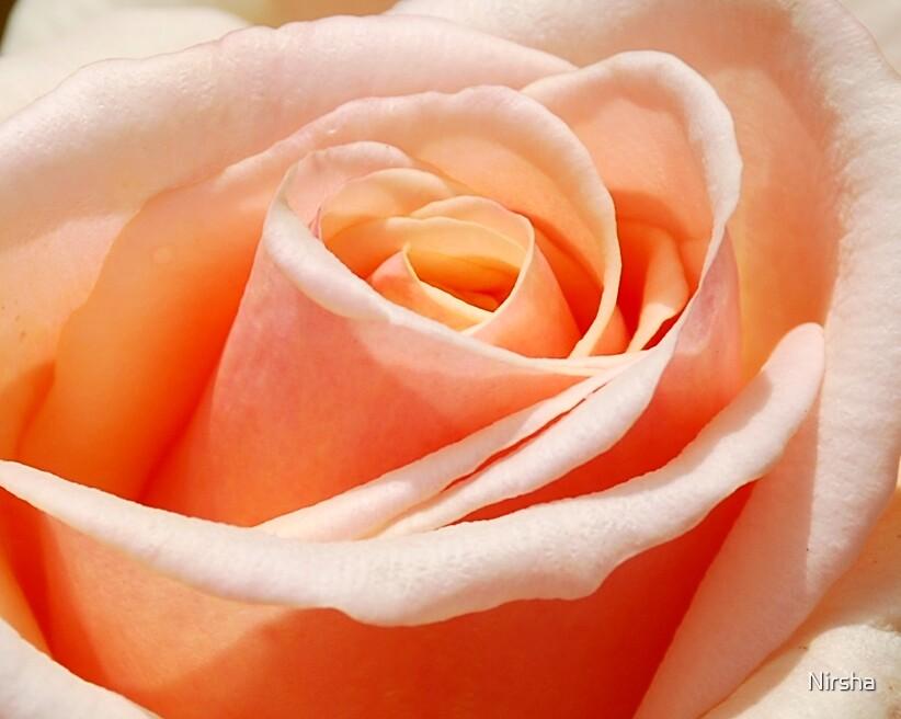 Peach rose by Nirsha