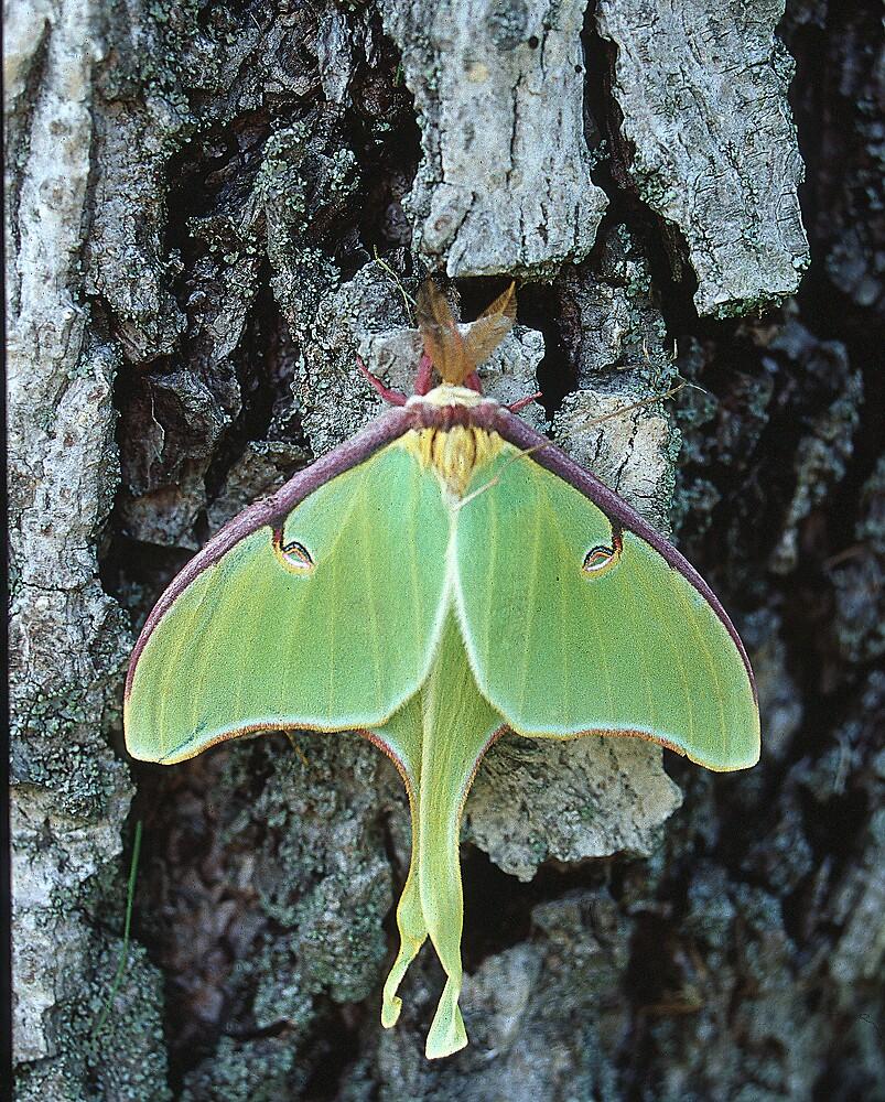 Luna Moth, Elkton, Maryland by fauselr