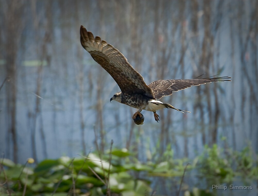 Snail Kite with the day's catch by Phillip  Simmons