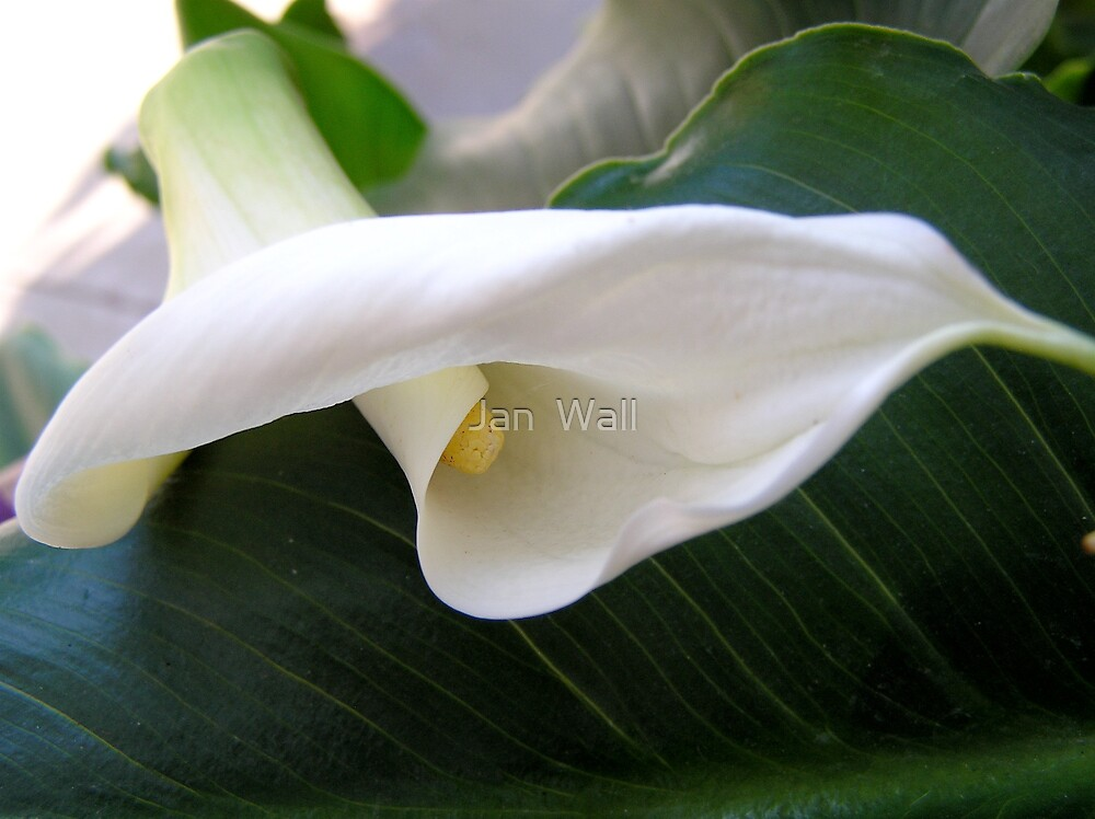 Calla Lily by Jan  Wall
